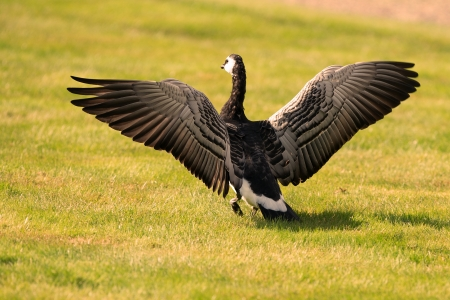 A picture of a barnacle goose on a green lawn, spreading its wings as if getting ready to take off  photo