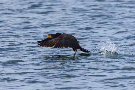suliformes: A great cormorant taking off in flight of the ocean surface