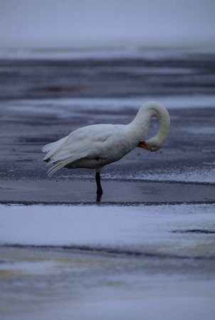 A picture of a whooper swan on a beach, making a loop of its neck, bent towards its body  photo