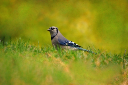 profile picture: A profile picture of a blue jay on a lush green lawn