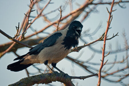 A picture of a hooded crow calling from a naked tree branch  photo