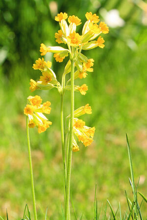 cowslip: A picture of a yellow blossoming cowslip in a grassy field