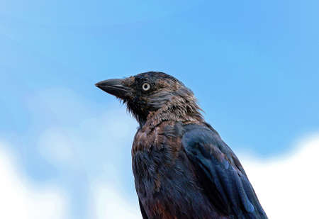 A profile portrait of a european jackdaw looking a bit ruffled, against a light blue background  photo