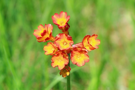 cowslip: A closeup picture of an orange red, blooming cowslip  Stock Photo