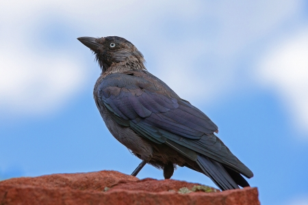 A profile full body portrait of a european jackdaw standing on a terracotta colored rock, against a light blue background