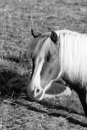 An oblique portrait shot of a pony, presented in black and white  photo