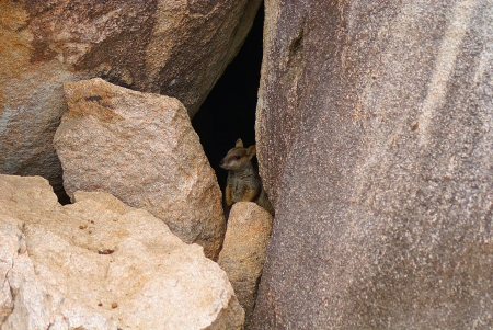allied: An allied rock-wallaby hiding out in a crevice between a couple of rocks  Stock Photo