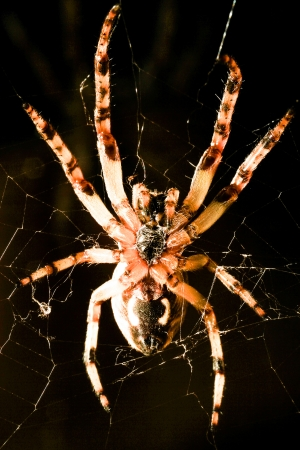 araneidae: A macro shot from underneath of a european garden spider in its web, against a black background  Stock Photo