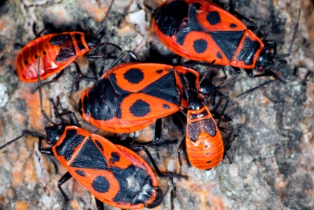 A cluster of firebugs, both nymphs and adults, on a mineral stone  photo