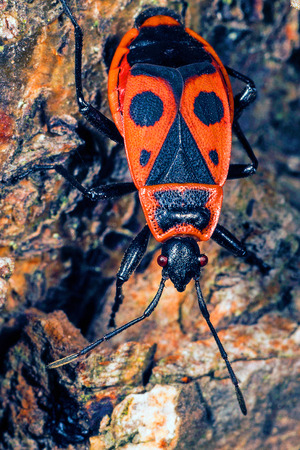 A closeup shot from above of a firebug on a rock  photo