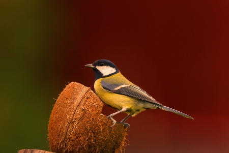hybridization: A profile picture of a great tit sitting on a coconut against a red and green background  Stock Photo