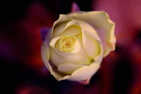 rosoideae: A closeup picture of a single yellow rose in ultraviolet