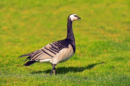 A profile picture of a barnacle goose crossing a green lawn  photo