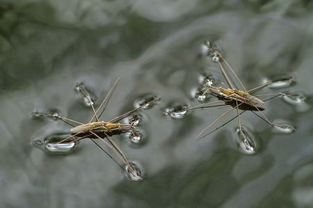 Ein Bild von zwei Wasserläufer Paare Paarung auf dem grau-Oberfläche eines Teiches Standard-Bild