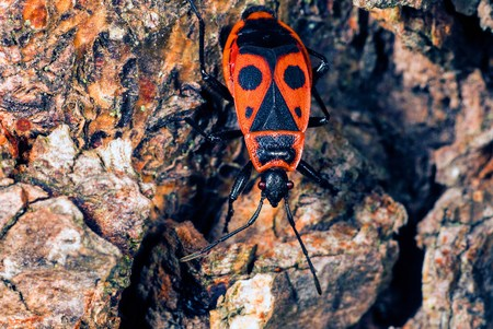 A closeup shot from above of an upside down firebug on a rock  photo