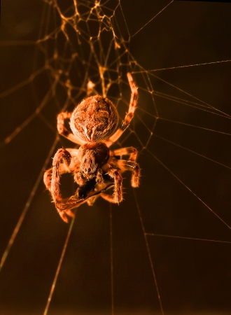 A macro shot of a european garden spider in its web, feeding on a fly or some other type of insect, against a black background  photo