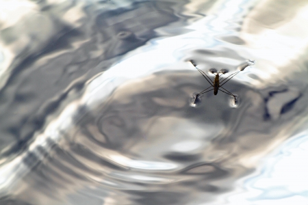 A picture of a water strider on a rippled surface of a pond