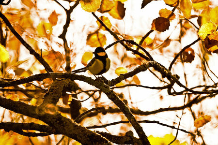 hybridization: A profile picture of a great tit sitting on a tree branch in an autumnal forest, showing the leaves bright colors in the background