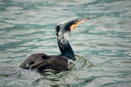 suliformes: A great cormorant swimming away out to sea, on the grayish water surface  Stock Photo