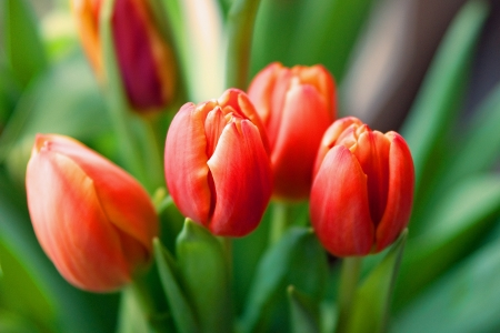 hybridization: A closeup shot of a few red tulips with more flowers in the background