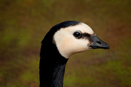 A closeup profile portrait of a barnacle goose against a gray greenish background