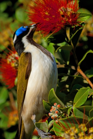 A blue-faced honeyeater standing in a tree eating nectar from a red flower  photo