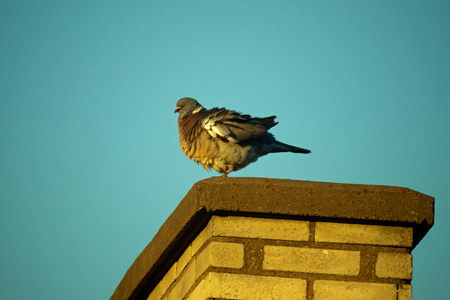 A fat and somewhat ruffled rock dove standing on a chimney against the blue sky background  photo