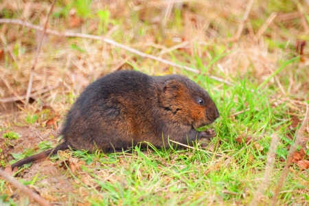 A closeup profile picture of a field vole out in the grass
