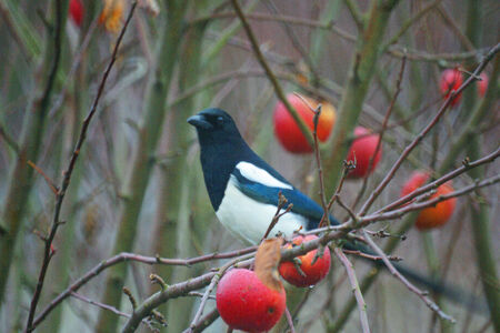 A picture of a eurasian magpie sitting on a tree branch among a few red, ripe apples of the fall  photo