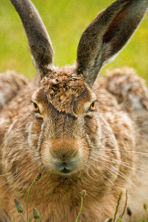 lagomorpha: A closeup frontal portrait of a european hare against a green background  Stock Photo