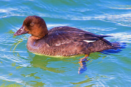 hybridization: A picture of a juvenile diving duck hybrid floating on a pond Stock Photo