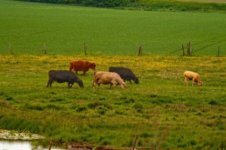 A picture of a few cows grazing in a lush, green, summery pasture landscape
