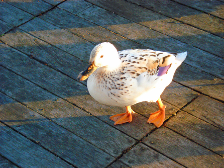 hybridization: A white hybrid duck waddling across the floor board of a wooden bridge