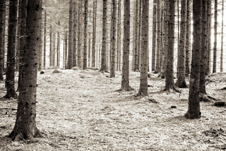 pinetree: A landscape picture of a pinetree forest shot in infrared  Stock Photo