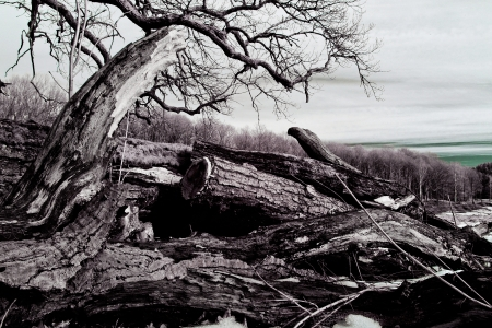 A picture of a forest landscape with some old knotted trees, partly felled, in the foreground  photo