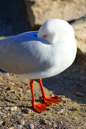 A closeup picture of a ring-billed gull burrowing its beak into its own feathers as if it was shy  photo