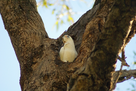 blood parrot: A little corella chick sitting in a cavity of a tree