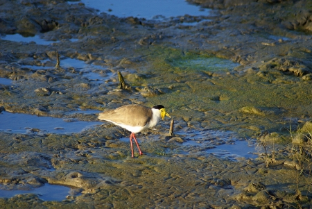 spur winged: A masked lapwing, seen in profile, walking across a muddy wetland