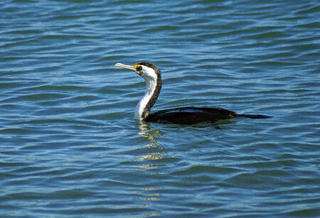 suliformes: A great cormorant seen in profile floating in the rippling water