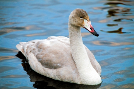 An oblique closeup portrait of a whooper swan peacefully floating on the surface of a lake  photo
