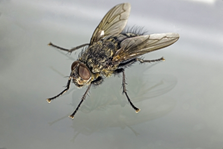 A macro shot showing detail of a common housefly in an olique view against a gray background