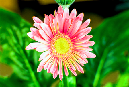 A closeup shot of a pink china aster with green leaves