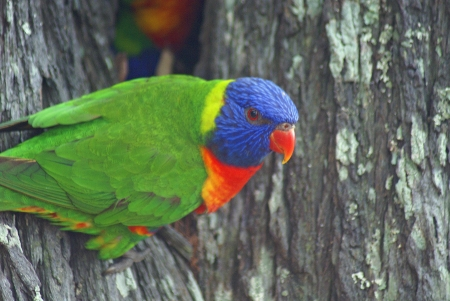 A closeup profile portrait of a rainbow lorikeet parrot sitting in a tree  photo