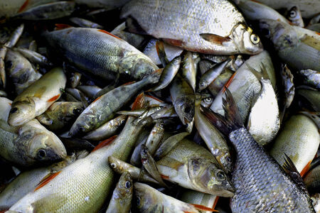 A picture of various fresh fish just caught lying in a pile  photo