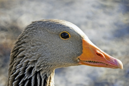 A closeup, profile portrait of a graylag goose against a blurry gray  photo