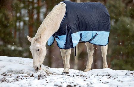 blanket horse: A picture of a white horse in a horse blanket in a snowy scene with a forest