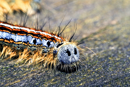 insecta: A macro shot of a brightly colored forest tent caterpillar displaying its backside looking like a sad  smilie  face  Stock Photo