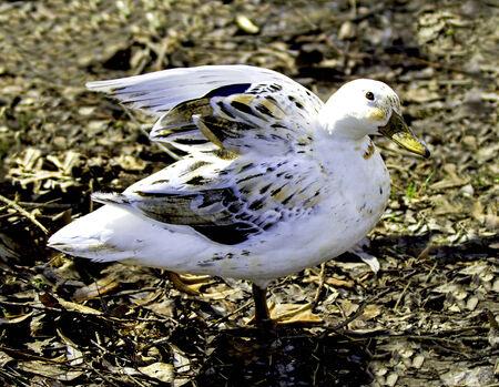 waterbird: A closeup portrait of a white mallard  Stock Photo