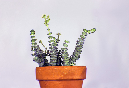 A picture of a cressula sericea hottentotta ornamental plant in an orange pot  photo