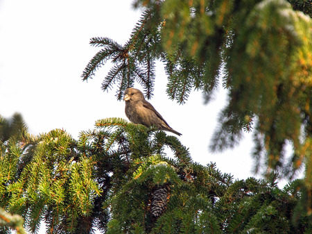 A picture of a parrot crossbill seen in profile sitting in a pinetree  Stok Fotoğraf